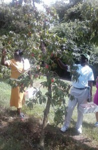 picking peaches